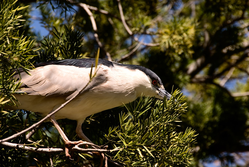 Bird on evergreen branch