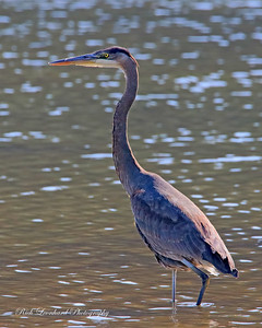 Great Blue Herron at Sunken Meadow State Park.
