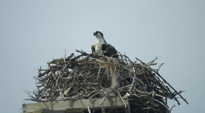 Osprey on nest in Florida Keys