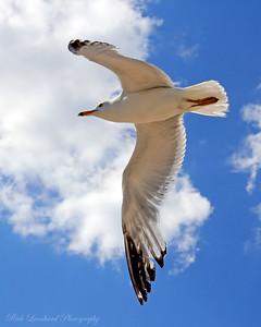 Ring Beak Seagull in Oyster Bay,NY.