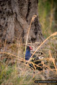 Australasian Swamphen