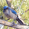 Woodhouse's Scrub Jay<br /> Alma, NM