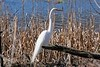 Great (white) egret - Ardea alba.