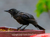 Ratty Grackle