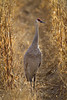 Sandhill Crane,Bosque Del Apache-New Mexico