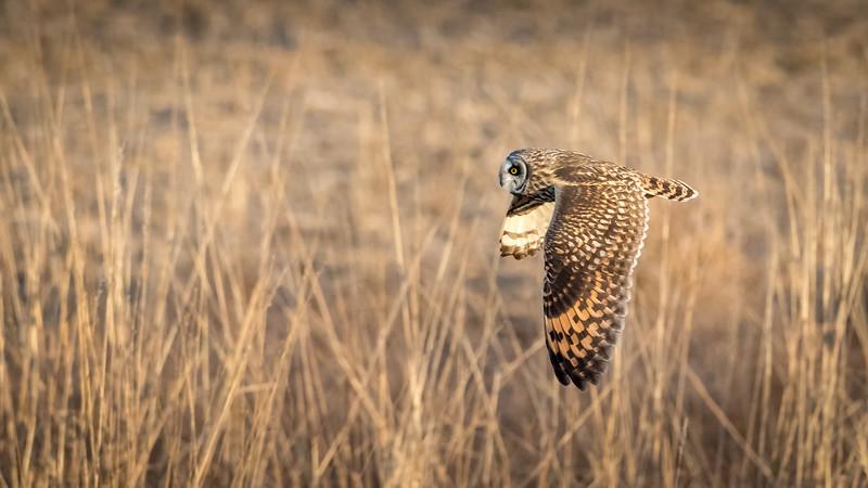 SE Owl in flight -4789