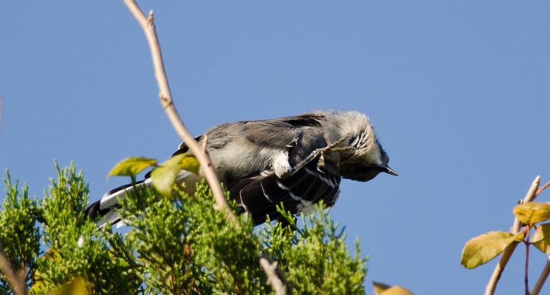 Bird scratching itch