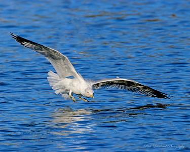 Seagull at Eisenhower Park, NY.