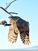 Great horned owl; best viewed in the largest sizes