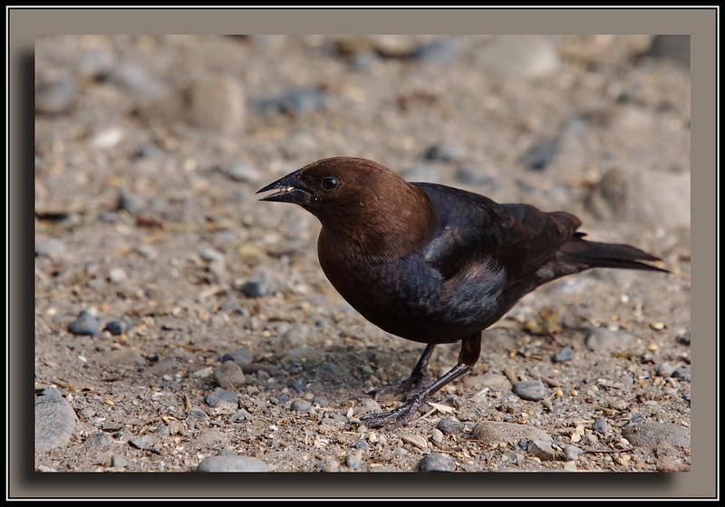 Brown Headed Cowbird at Reifel Bird Sanctuary.