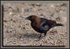 Brown Headed Cowbird at Reifel Bird Sanctuary.