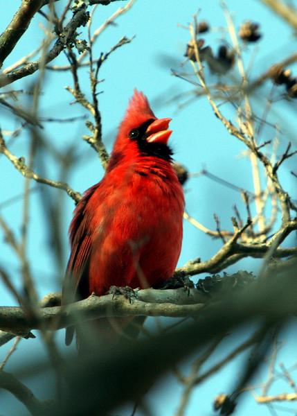 Singing Cardinal