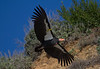 California Condor (<i>Gymnogyps californianus</i>) There are only 181 California condors in the wild. All of the California condors that live along the California coast have been tagged with tracking numbers on their wings, as is the case with this condor. California coast, USA