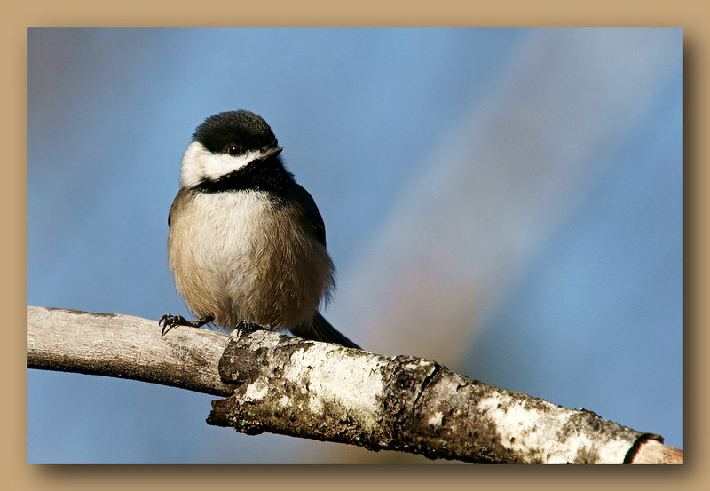 Changed the crop  - Chickadee at Richmond Nature Park (w/ Sigma 50-500)