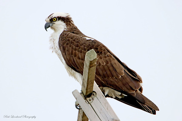 Osprey at Sunken Meadow State Park,NY.