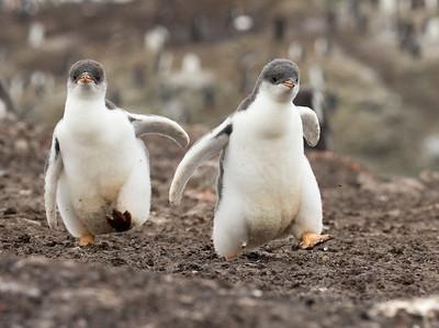 Gentoo Penguin (Pygoscelis papua)