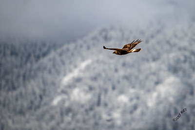 Hawk Against Mission Mountains