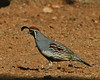 Gamble Quail male