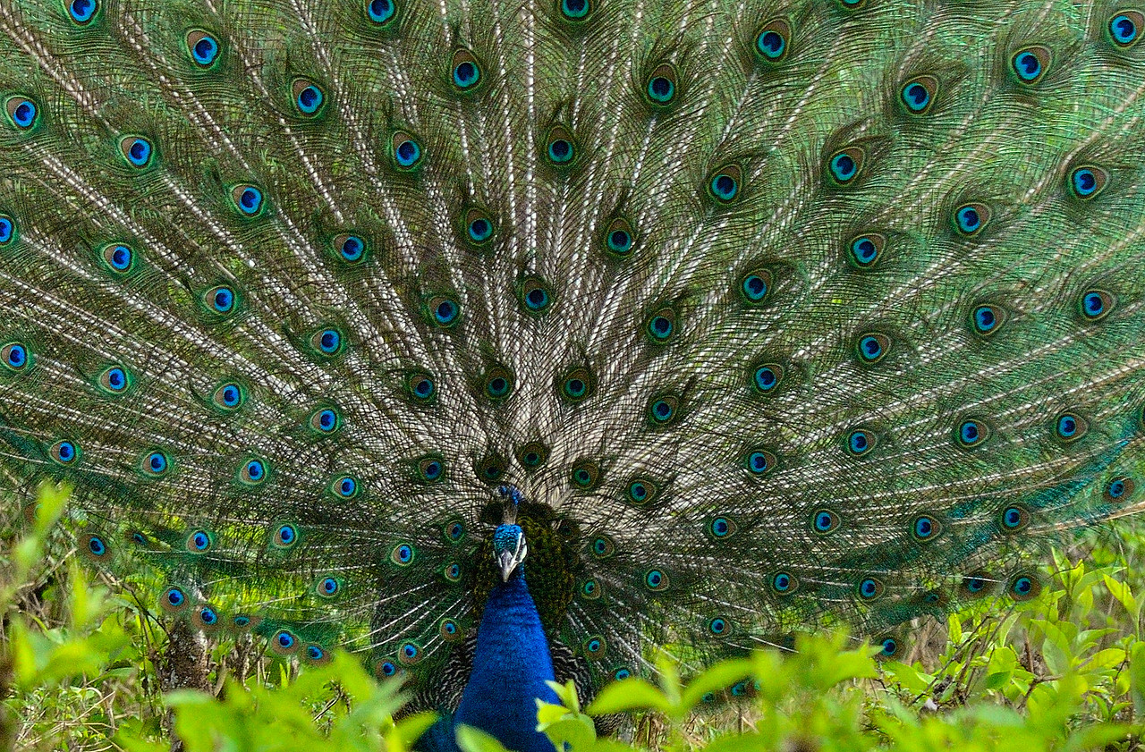 The Beauty.., Peacock