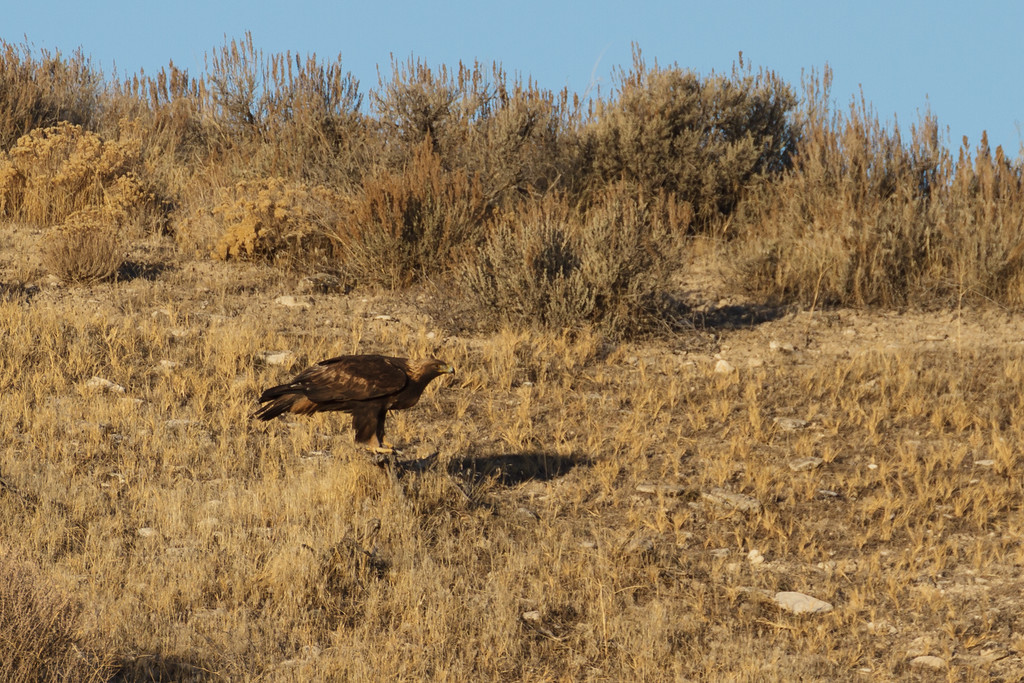 golden eagle at spiral jetty