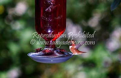 Male Rufous Hummingbird. Windermere, BC, July 2013