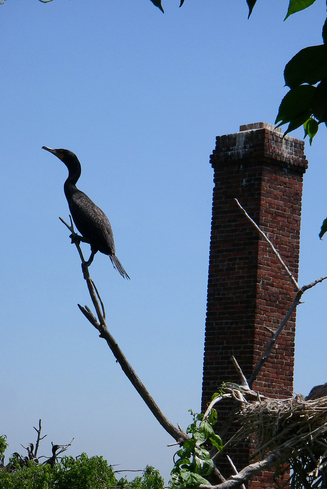 A Double-crested Cormorant hangs out on a branch, a dilapidated chimney can be seen in the background.  New York, NY.