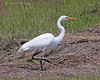 Great Egret at Oceanside Marine Study Area.