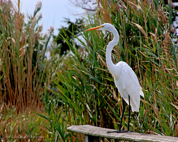 Great Egret posing for me at The Oceanside Nature Marine Study Area.