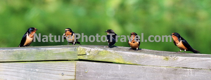 """""""Meeting"""" Barn Swallows. A familiar inhabitant of barns and other outbuildings, the Barn Swallow is easily recognized by its long forked tail. It was originally a cave breeder, but now the swallow nests almost exclusively on man-made structures."""