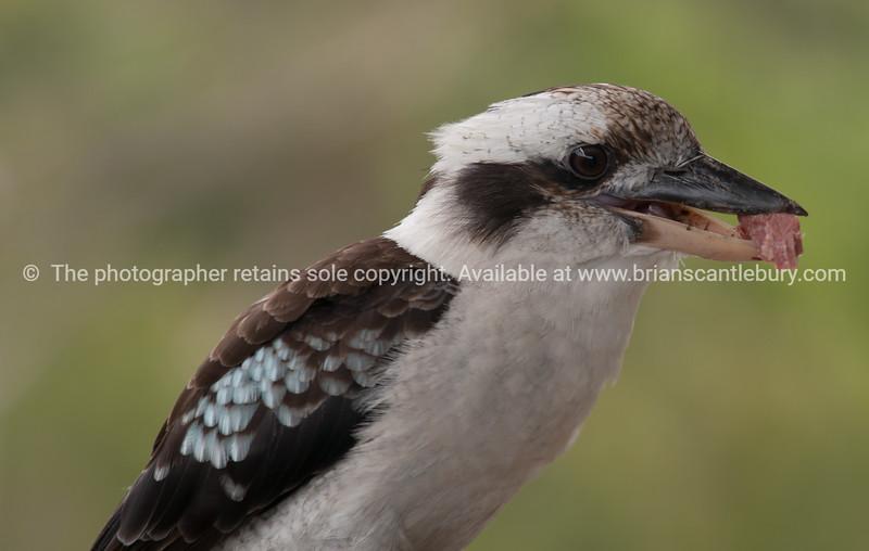 Kookaburra, close-up.