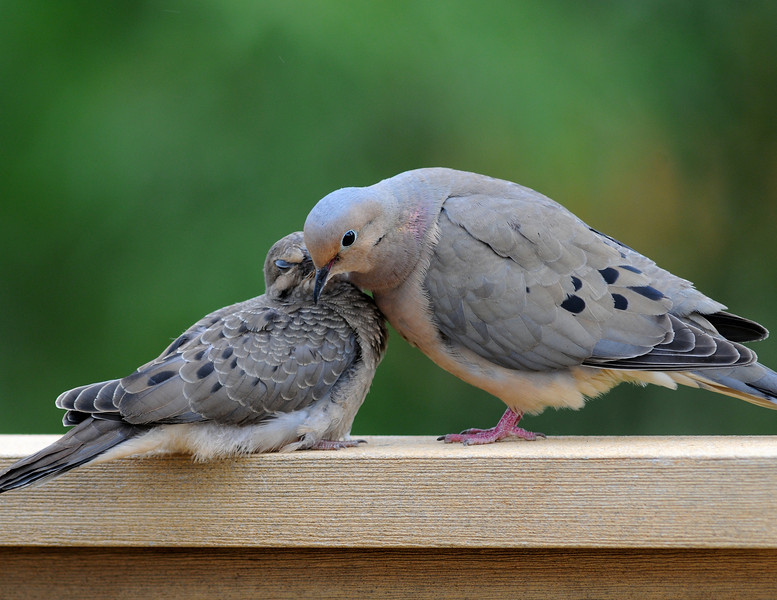 Mourning Dove, Male and Female