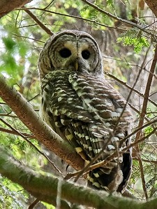 Barred Owl (Hoot Owl) - strix varia.