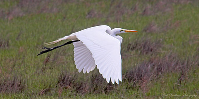 Great Egret at Oceanside Marine Study Area.