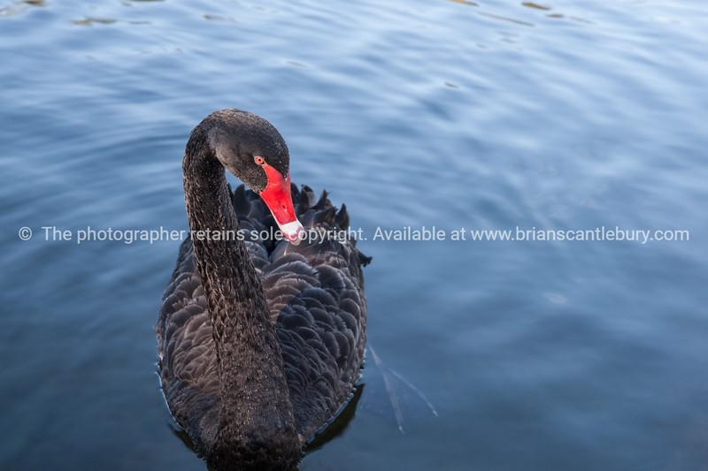 Black swan portrait.