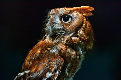 Eclipse Observer - Screech Owl