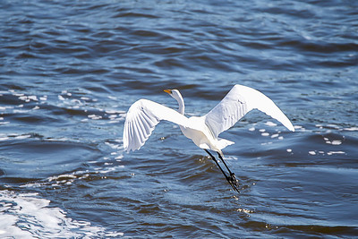 Great Egret - They hunt in classic heron fashion, standing immobile or wading through wetlands to capture fish with a deadly jab of their yellow bill.