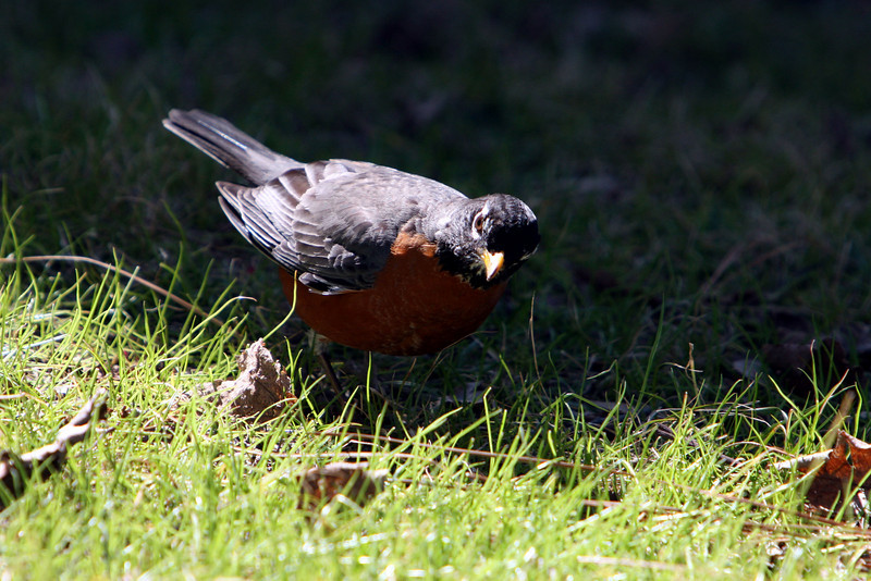 """Male Robin """"Listening"""" for earthworms."""