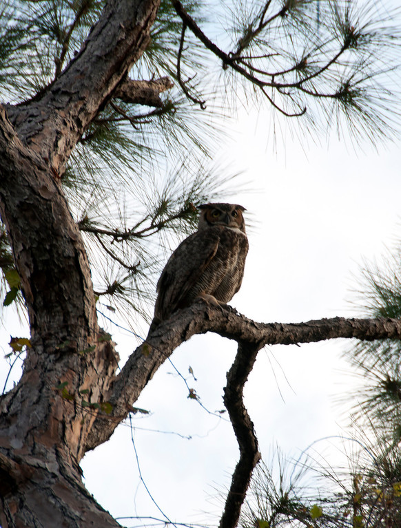 I could hear the owls calling to each other through the trees.   I silently, well as quietly as I could, walked the trail and found this one sitting in the tree. When you compare it to the tree trunk, you see just how large it is. <br /> It's amazing these large, majestic birds fly so silently.