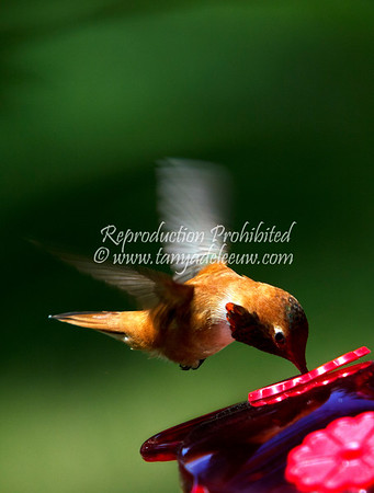 Rufous hummingbird. Windermere, June 2012