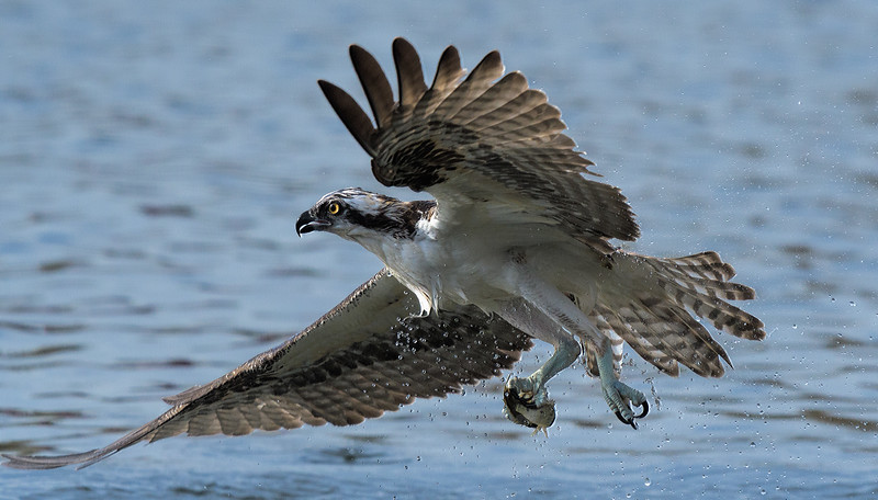Osprey with catch leaving water