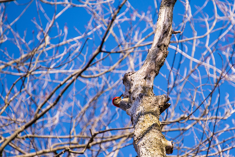 Red-Headed Woodpecker at Lake Towhee - March 2013