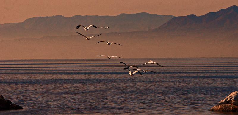 Pelicans leaving Yacht club