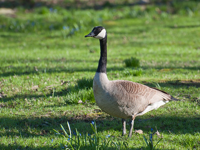 Canadian Goose at Minute Man NHP on 20100410