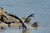 "Sequence 3/9 -  ""Gotcha!""<br /> Great Blue Heron on Fraser River @ Annacis Island"
