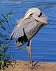 Great Blue Heron. What a flexible neck. At Mill Pond in Wantagh,NY.