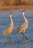 Pair of Sandhill Cranes vocalizing
