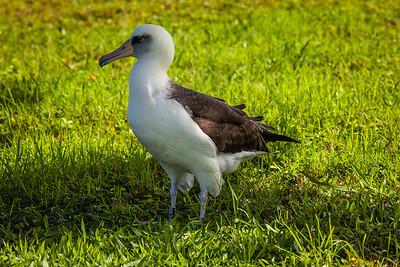 """Moli""  Laysan albatross."