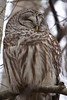 Barred Owl at Reifel