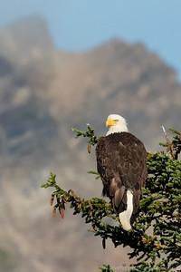 Eagle of Alaska