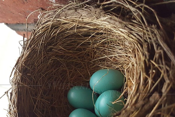 Robin's eggs in nest in doorway - Pittsburgh, PA